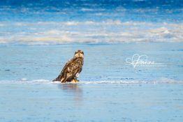 young-eagle-on-ice-1420301147-jpg