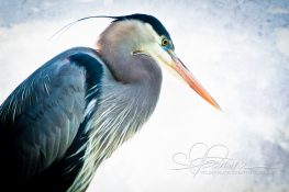 great-blue-heron-1369181117-jpg