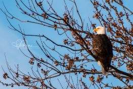 perched-eagle-at-sunrise-1-1420301528-jpg