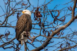 perched-eagle-at-sunrise-2-1420301794-jpg